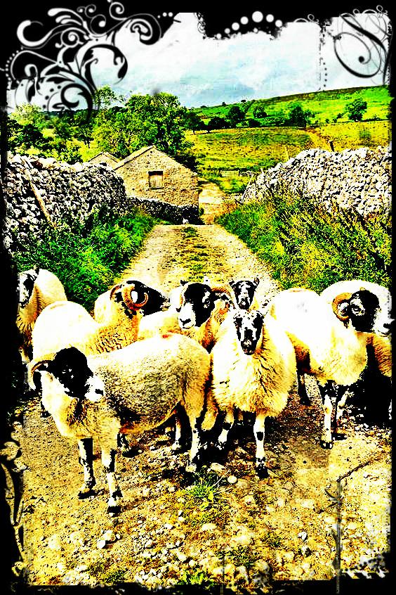 Yorkshire Sheep.jpg